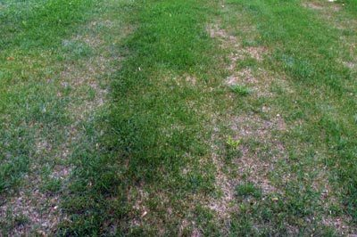Mower tires have compacted the soil in this lawn. (Photo credit: Kevin Frank, MSU)